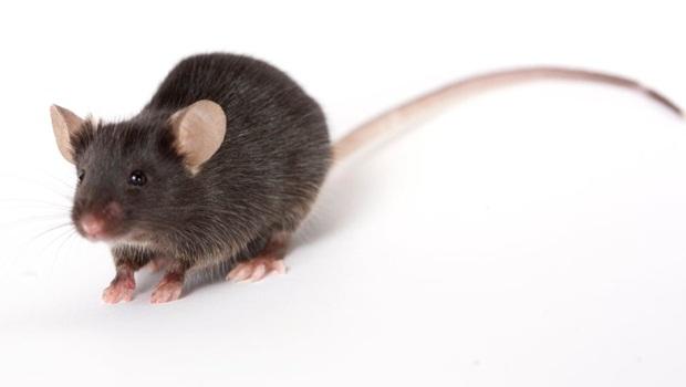 tikus nakal